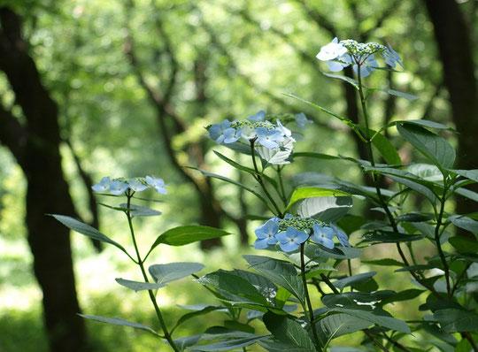 6月12日(2016) 木漏れ日と紫陽花(アジサイ):6月11日、野川公園・自然観察園にて)