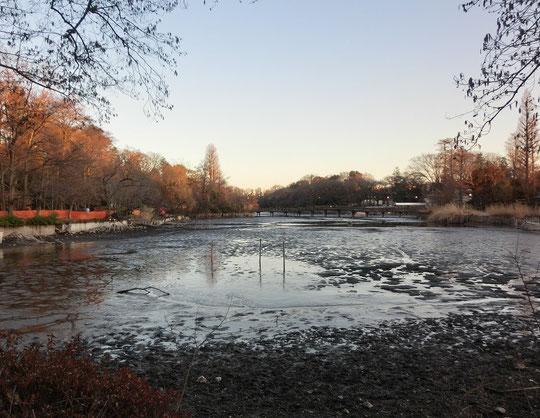 2月16日(2016)「かいぼり」の井の頭池:2017年に開園100周年を迎える井の頭恩賜公園では、水を抜き、干す「かいぼり」により井の頭池の生態系の回復、自然再生をめざすプロジェクトが行われています