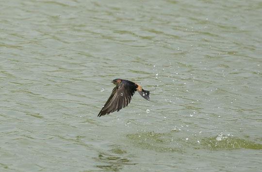 ●水しぶきをあげるコシアカツバメ(ツバメ科)
