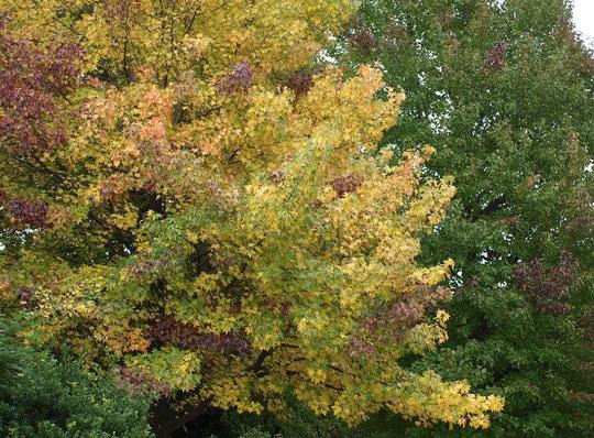 10月24日(2017)木々の色付き:今年は紅葉(黄葉)が少し早いのでしょうか。モミジバフウの色付きが進んできました。緑から黄、赤と3色が楽しめます。野川公園の駐車場の近くで。