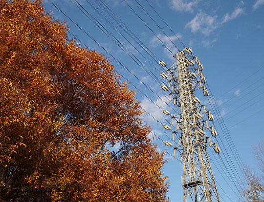 12月11日(2014) コナラの紅葉と鉄塔:12月7日、武蔵野公園にて