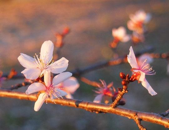 1月2日(2016) 冬桜(十月桜):元旦の朝、武蔵野の森公園にて