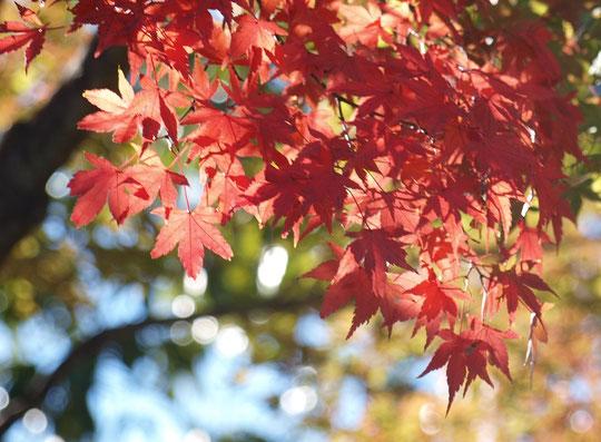 ●イロハモミジです。赤く色づいてきました。ラリーポイントMの「武蔵野の森公園」にて。