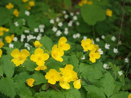 4月16日(2016) 黄色が映えるヤマブキソウ:ヤマブキソウはケシ科の多年草、よく目にするヤマブキ(バラ科の樹木)とはちがうものです。調布市野草園にて。背景の白い花はニリンソウです