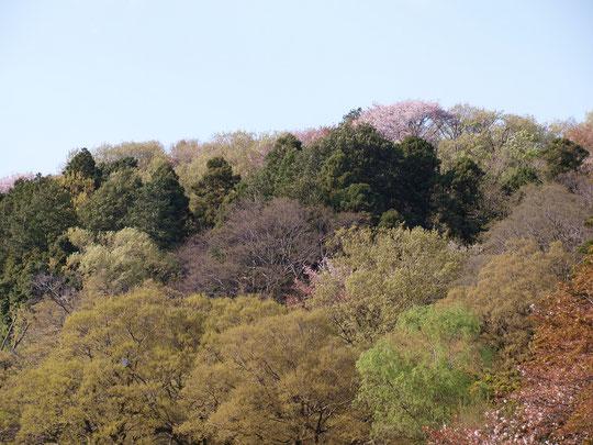 4月6日(2020)山が笑う:山と言っても一般的な山ではありません。国分寺崖線(はけ)の春景色です。春になり様々な樹木が色とりどりに自己主張をしています