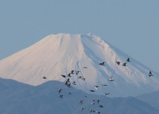 12月6日(2014) 鳥の群れと雪の富士山:国立天文台裏の国分寺崖線の上から12月3日に撮影