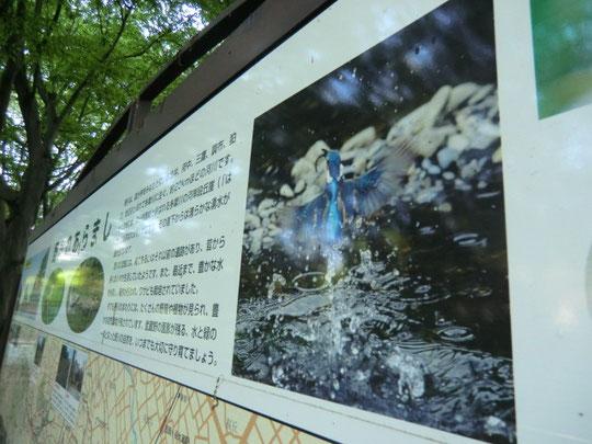 自然観察園の案内板。カワセミの飛び立つ写真。野川では運がいいとカワセミに出会うことが出来る。忍耐強くカメラを据えて待つ人々も