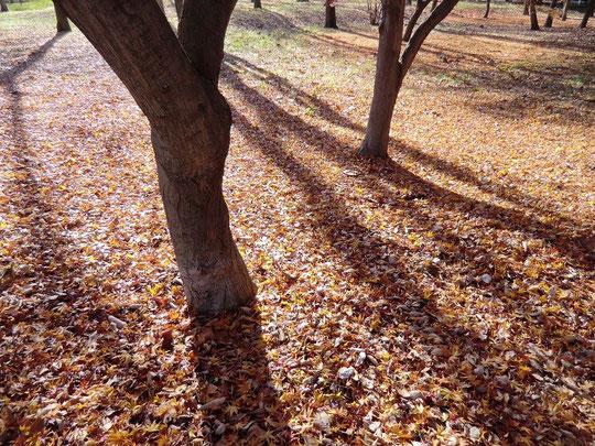 12月15日(2012) モミジの落ち葉(野川公園)