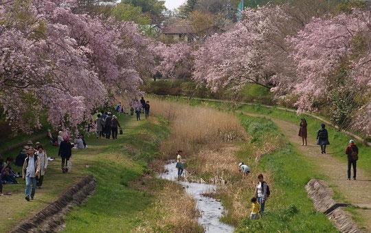 4月1日(2018) 野川の枝垂桜:野川のシダレザクラも今年は開花が早いようです。お花見の人と川におりて遊ぶ子供たち。のどかな休日の景色です。