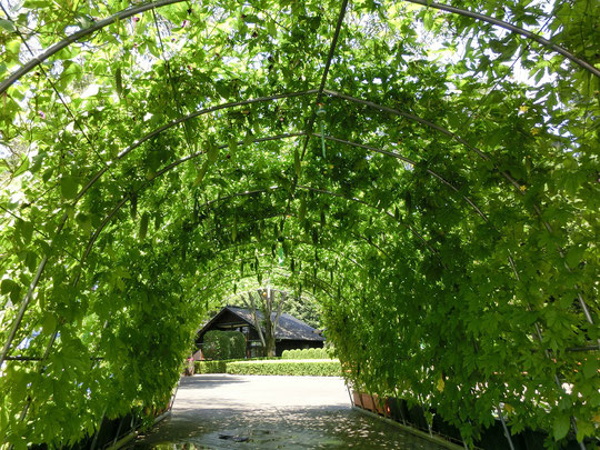 8月9日(2016) みどり(ゴーヤ)のトンネル:江戸東京たてもの園にて。ゴーヤのトンネルからは、霧が吹きだしてきて、しばしの凉を楽しめます。トンネルの向こうに見えるのが前川國男邸です。前川國男邸:日本の近代建築の発展に貢献した建築家前川國男の自邸を復元・展示したもの