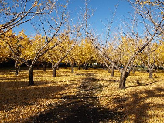 11月28日(2012) 落ち葉の銀杏畑(東八道路沿いの吉野農園:三鷹市)