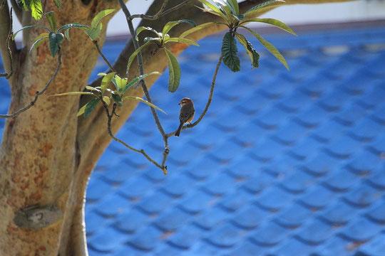 ●百舌鳥と青い屋根