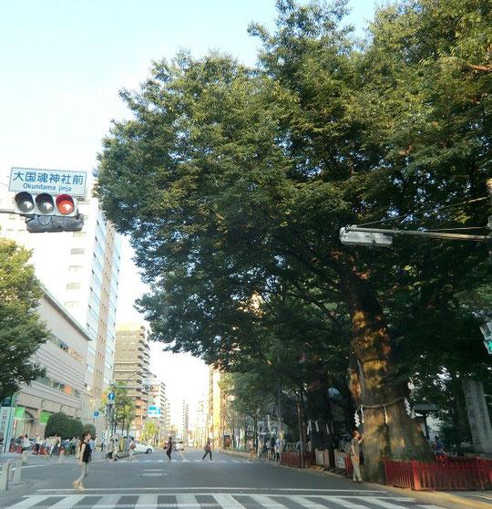 8月29日(2013) 大ケヤキ(大國魂神社:府中市)旧甲州街道を覆っている
