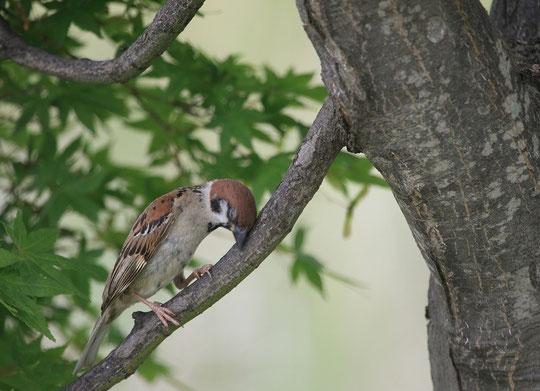 ●いねむりをする雀(スズメ) 6月22日、武蔵野の森公園にて