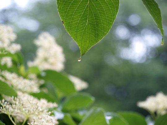 6月7日(2015) 水木(ミズキ)の雫:雨が上がった朝、野川公園にて
