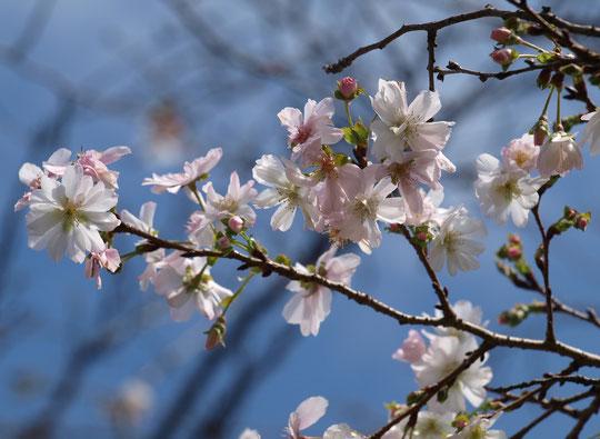 10月20日(2018)桜が咲きました!:と言ってもソメイヨシノなどではありません。この時季から咲き始める「十月桜」です。都立野川公園の野川遊歩道・二枚橋近くで秋のお花見を楽しめます。