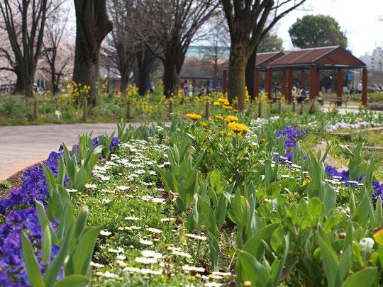 4月4日(2016) 花いっぱいの公園:4月1日、武蔵野中央公園にて