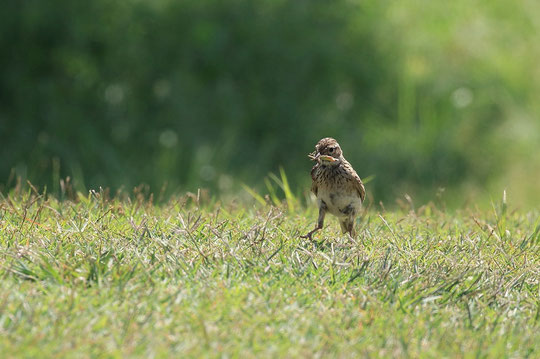 ●歩行するヒバリ。6月2日、武蔵野の森公園にて