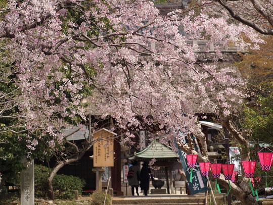 ●ラリーポイントK 深大寺:参道に咲くシダレザクラ。山門が奥に見えます