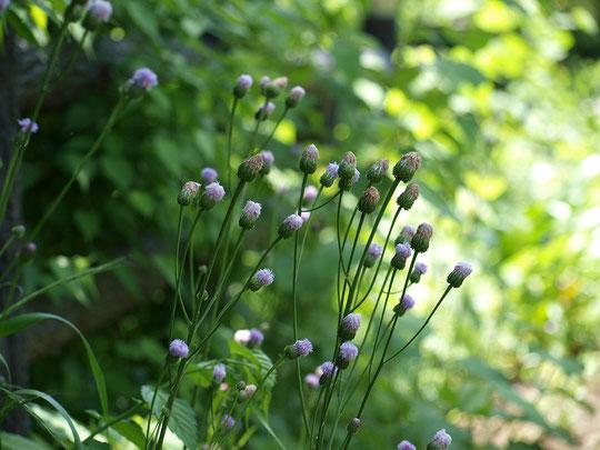5月11日(2017)野に咲く花、キツネアザミ:アザミに似てよく見ると違うので、キツネにだまされたというのが名の由来。調布市野草園にて