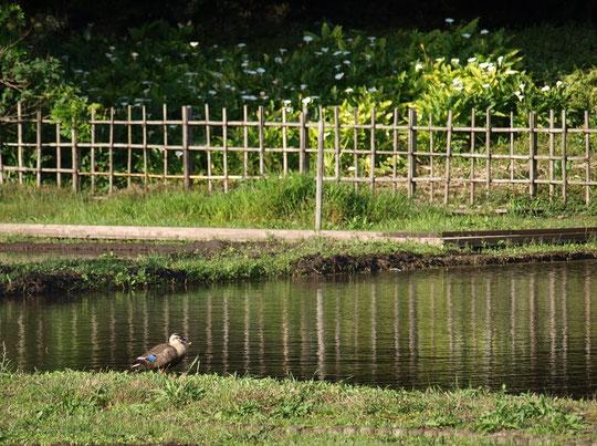 6月3日(2016) 水が張られた大沢たんぼ(三鷹市大沢の里):田植えを前にたんぼに水が張られていました。カラーの花が咲く辺りでは、そろそろホタルが見られるのでしょうか・・・