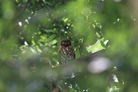 8月1日(2013) 都会の森のふくろう(アオバズク)三鷹市在住の武田さんが撮影。コメント「かつて、調布市のとある神社の洞(うろ)で子育てをしていたアオバズク」