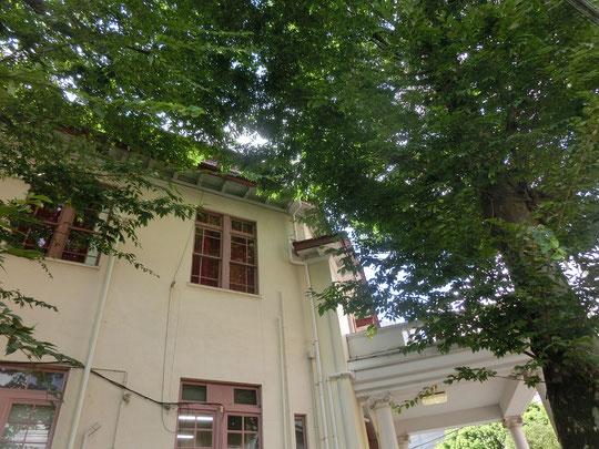 8月6日(2014) 龍源寺の大イチョウ:近藤勇(新撰組)の墓がある龍源寺(三鷹市)。本堂前に左右対になったイチョウの大木がある。樹高約20m