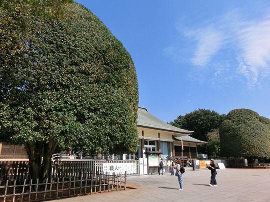 10月12日(2017)金木犀の大木:江戸東京たてもの園の入口(ビジターセンター)の左右に立つキンモクセイ。近づくと黄金色の小さな花がたくさん咲いていて、甘い香りが漂ってきました。