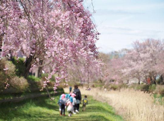 4月12日(2017) 野川のシダレザクラ(小金井新橋の近くで):野川の枝垂れ桜が咲き始めました。今年は、例年より1週間くらい遅いようです。今週末から来週ぐらいが見ごろでしょうか。昨年は花付きがよくなかったので、ちょっと心配ですが・・・