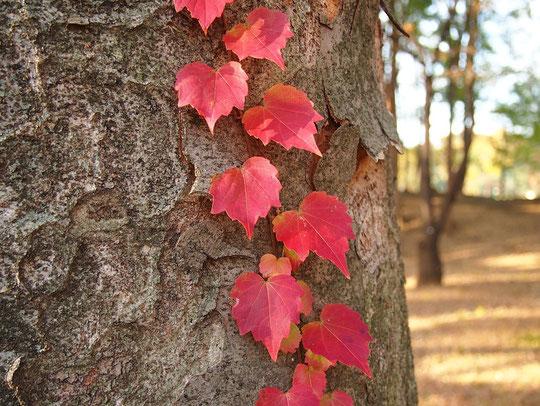 11月25日(2017)欅に蔦の葉:秋も深まった雑木林で、ケヤキの木に赤く色づいたツタの葉を見つけました。都立武蔵野公園のくじら山の近くにて