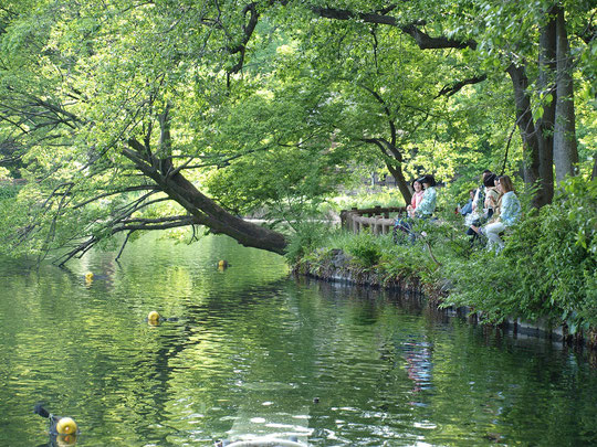 5月7日(2016) 緑かがやく水辺(井の頭公園):冬におとずれた時には、かいぼり(井の頭池自然再生のとりくみ)で水がなかったのですが、今回は水が満ちていました