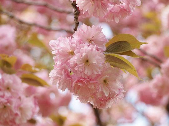 ●カンザン(関山):八重。八重桜の中でも最も多く各地に植栽されています。