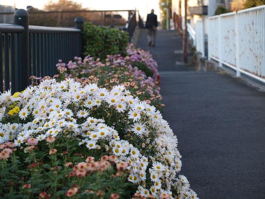 ●11月15日(2018)天文台通りの近くの野川遊歩道で出会った色とりどりの菊の群れ。ご近所の方が育てていらっしゃるのでしょうか・・・