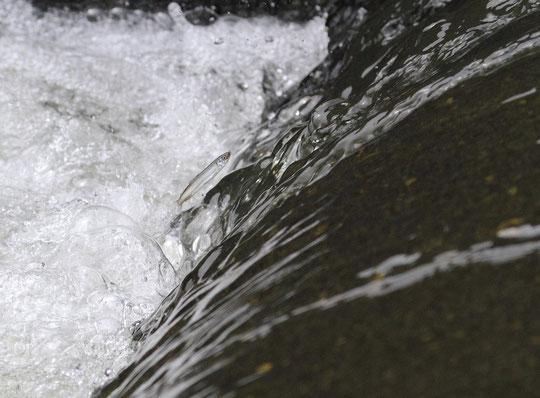 5月20日(2014) アユの遡上:調布市の日活撮影所近くの多摩川で武田さんが撮影(ご投稿頁にも掲載)