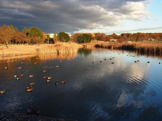 12月13日(2015) 修景池に遊ぶカモ:12月11日の夕方、武蔵野の森公園にて