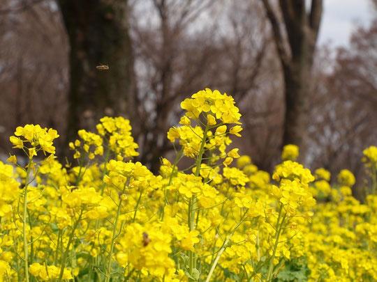 3月28日(2016) 満開の菜の花:小金井公園にて。飛行中のミツバチが一匹映っています