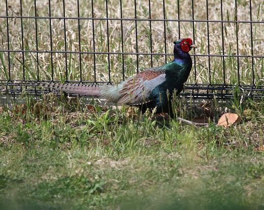 4月25日(2014) キジのお散歩:調布飛行場のフェンスのそばで(三鷹市在住の武田さんのご投稿)