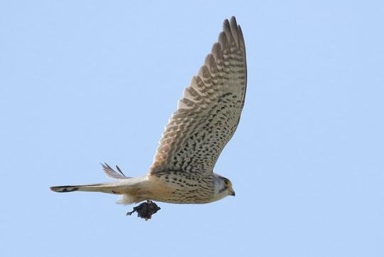 ●獲物を捕らえて飛ぶチョウゲンボウの雄姿。