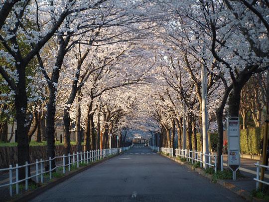 ●ラリーポイントH「武蔵野の森総合スポーツプラザ」近くのサクラ並木。この辺りは、スタジアム通りをはじめ桜並木が縦横に連なっています。3月26日に撮影