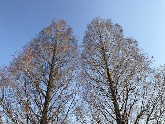2月6日(2021)そびえ立つメタセコイヤ:都立武蔵野の森公園入口近くに立つメタセコイヤ。冬空に、まっすぐ伸びた幹ときれいな円錐形が映えていました