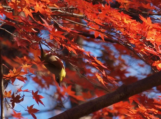 12月17日(2016) モミジとメジロ:モミジの紅葉はほぼ終わったようですが、野川公園の一画に、まだ鮮やかに紅葉している木があります。そこで、メジロが一羽、遊んでいました。