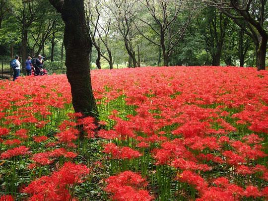 9月24日(2014) 曼珠沙華(マンジュシャゲ)の群生:野川公園・自然観察園