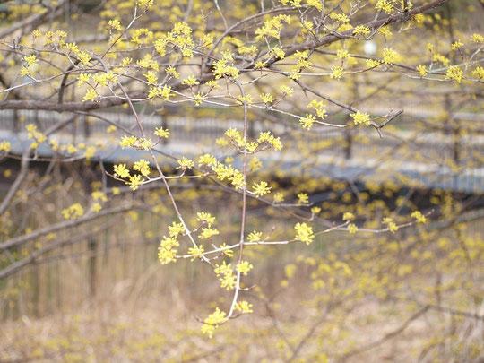 3月7日(2015) サンシュユとくぬぎ橋(野川遊歩道):サンシュユ:ハルコガネバナとも呼ばれ、枝の先に小さな黄色い花をたくさんつける