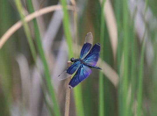 ●武蔵野の森公園の池にて、8月4日撮影