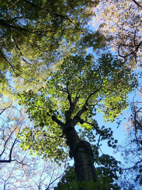 11月10日(2012) 紅葉のはしりⅡ(神代植物公園の側道で:調布市)