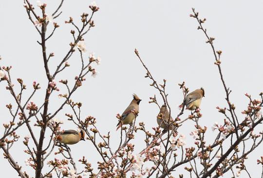 ●「たら、れば」写真です!もうすこし桜が咲いていたらなぁ」、「青空バックで撮れれば・・」