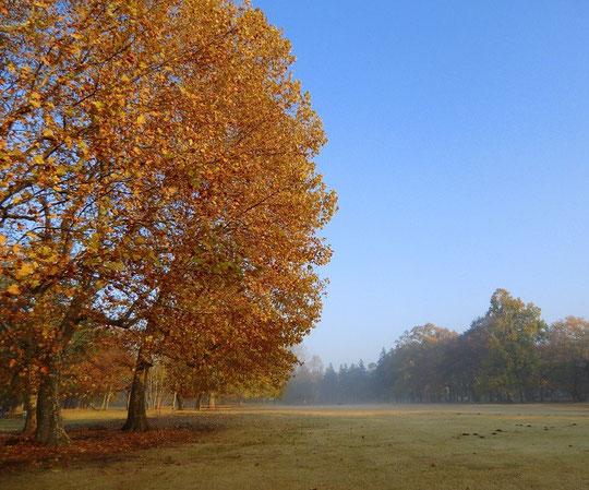 11月26日(2013) 色づいたプラタナス(鈴懸の木):野川公園・大芝生広場にて