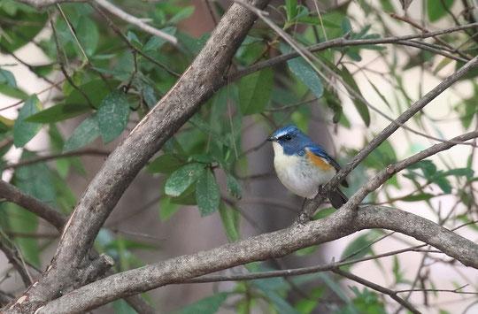 2月4日(2016) 幸せの青い鳥?:三鷹市に在住の武田さんのご投稿写真。くわしくは、「ご投稿」の頁をご覧ください