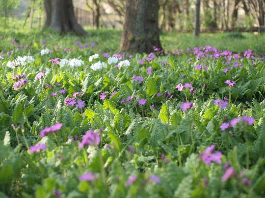 4月14日(2017) ひっそりと咲くサクラソウ:「我が国は草も桜が咲きにけり」(小林一茶)。百花繚乱のサクラの頃、清楚な野草のサクラを見つけました。野川公園・自然観察園にて