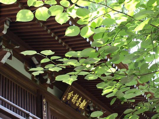 6月7日(2020)若葉の仁王門:JR武蔵境駅近くにある観音院は松江藩主、松平出羽守直政創建の曹洞宗のお寺。駅近とは思えない静かな境内には丸い葉を付けた白雲木(ハクウンボク)が枝を伸ばしていました